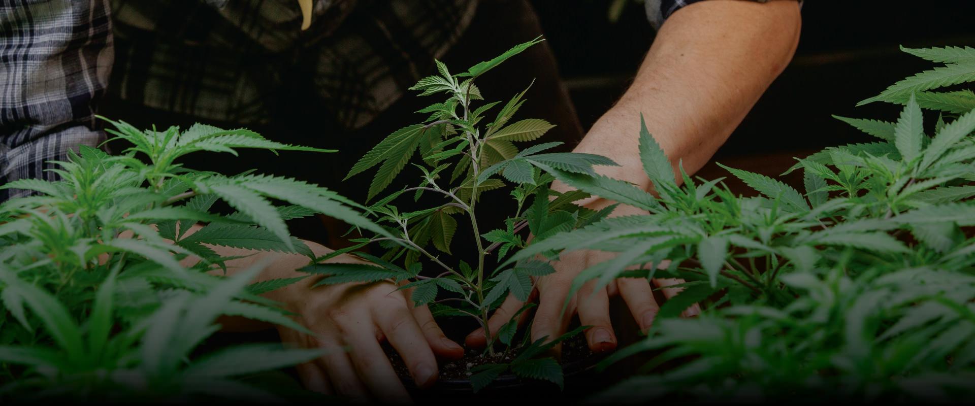 La poda en el cannabis y los factores que debes tener en cuenta