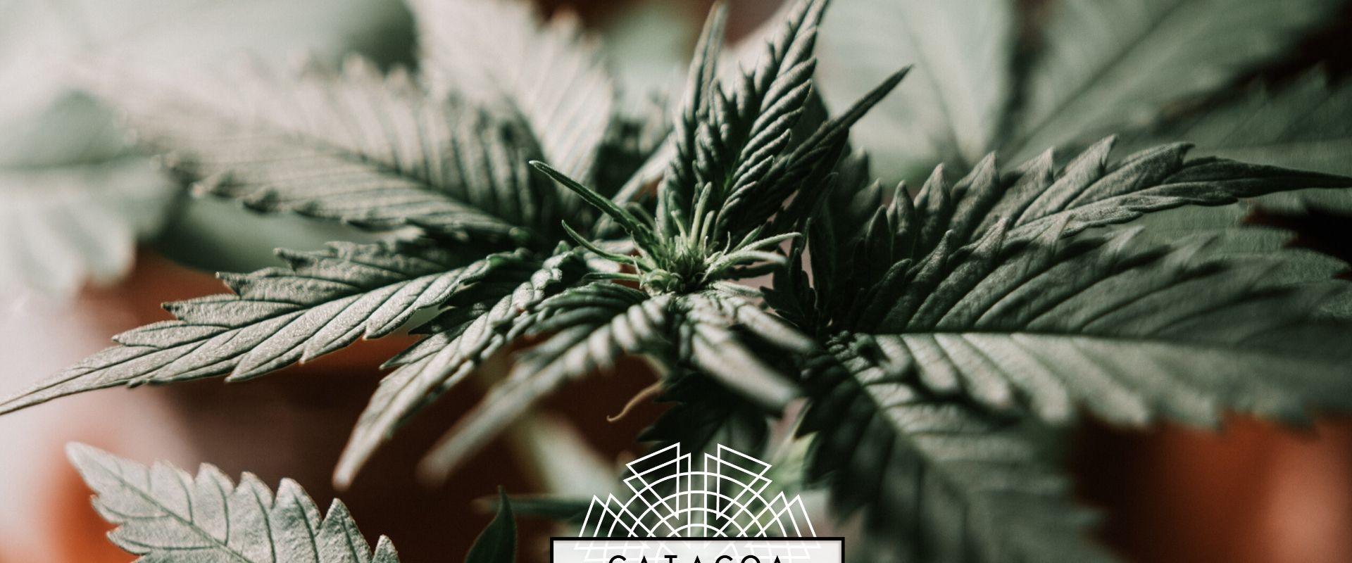 7 Recomendaciones antes de empezar tu cultivo de marihuana