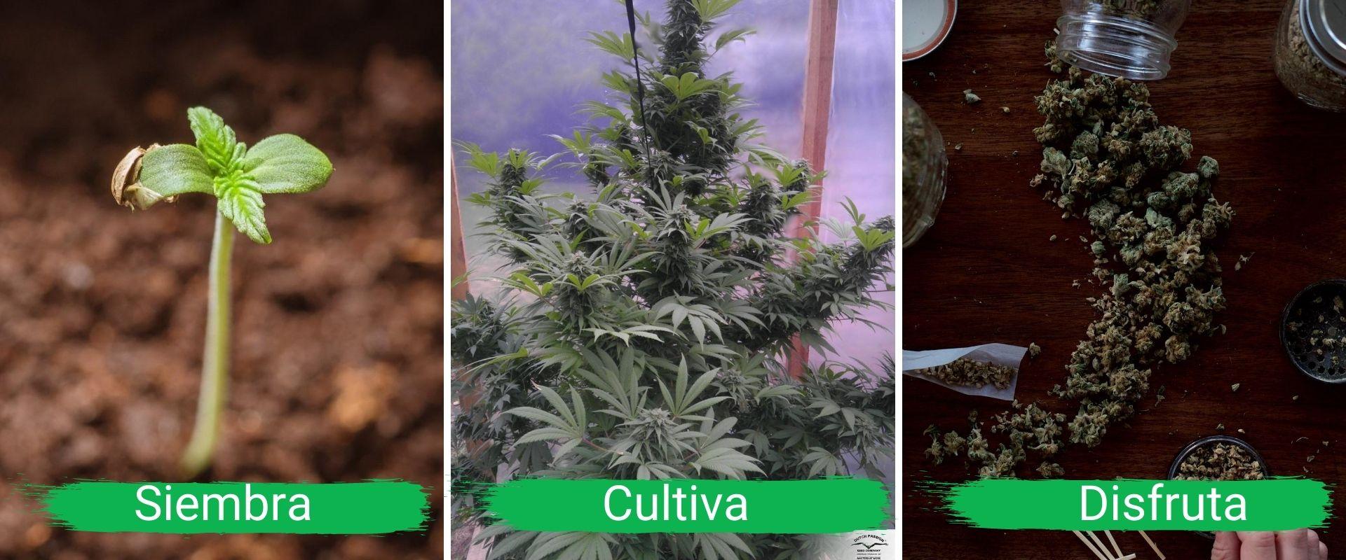Acompañamiento virtual: Una forma rápida, efectiva y divertida de iniciar tu autocultivo de cannabis
