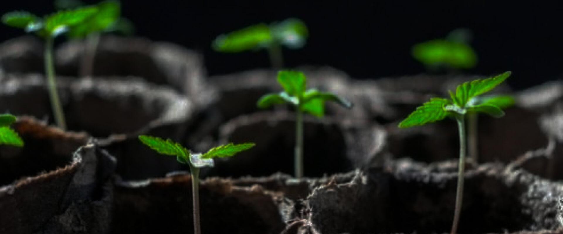 Esquejes de marihuana - Guía completa para sacar clones [2021]