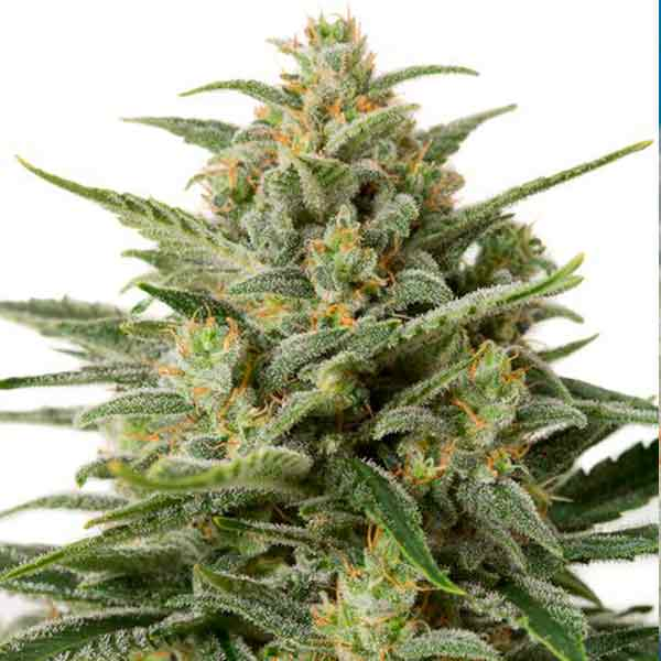 White Widow XXL Autofloreciente - Dinafem