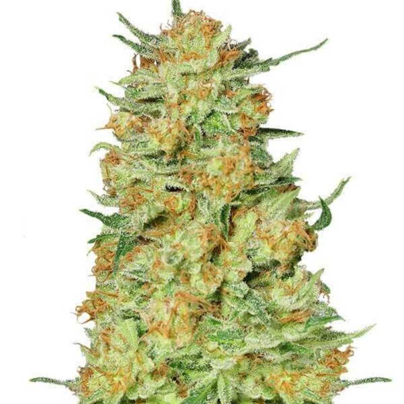Northern Kush - Gea Seeds