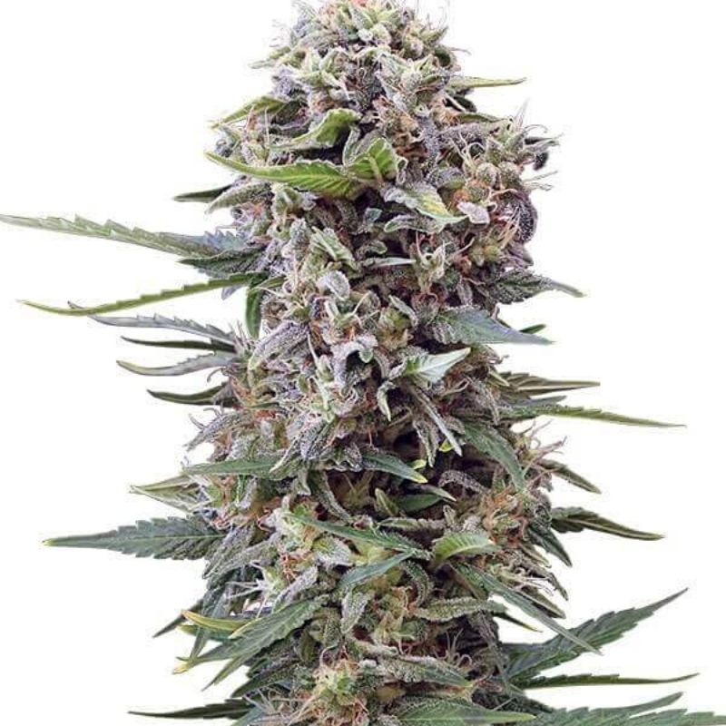 Auto Cheese - Gea Seeds
