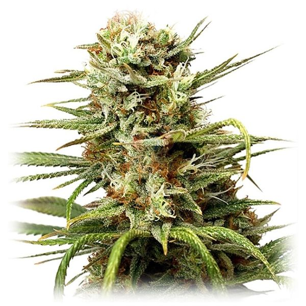 White Widow Original - Dutch Passion