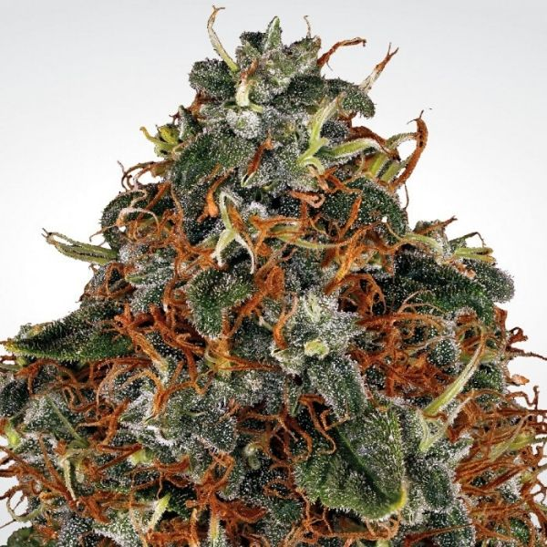 Space Cookies - Paradise seeds