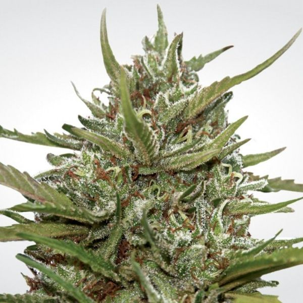 Auto whiteberry - Paradise seeds