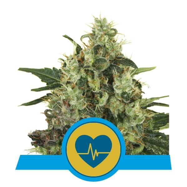 Medical Mass CBD - Royal Qeen Seeds
