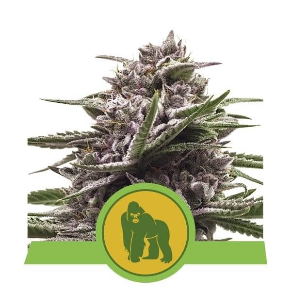 Royal Gorilla Autofloreciente - Royal Queen Seeds