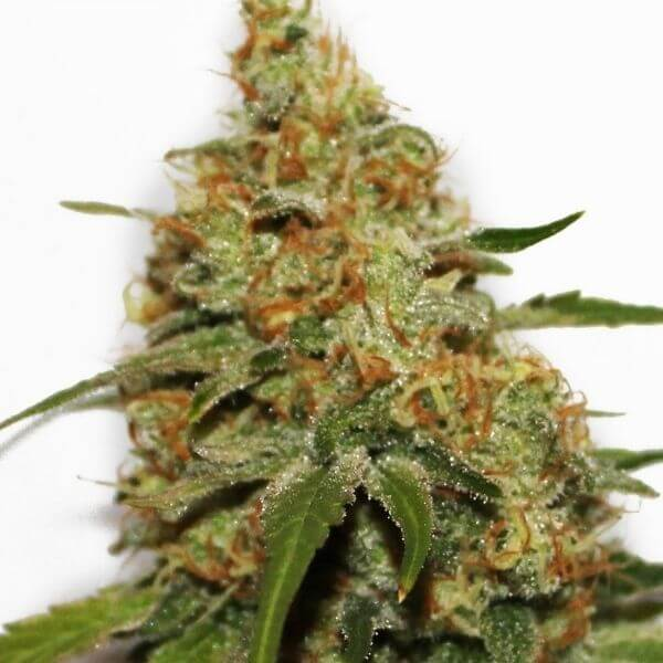 Painkiller XL CBD - Royal Queen Seeds